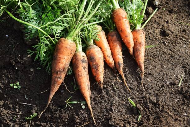 Harvesting carrots – zdjęcie