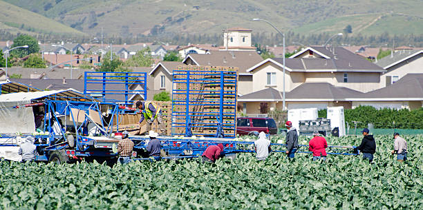 harvesting cauliflower Gonzales, California, USA - May 7, 2012: Farm workers harvesting and packing cauliflower in the field in the Salanis Valley. New housing development in the background shows conflict between farming and housing. migratory workers stock pictures, royalty-free photos & images