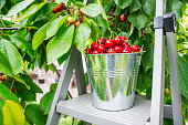 Harvesting cherries in the garden. Bucket of cherries on the top of ladder on cherry branches background.