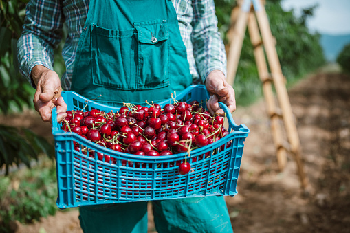Harvesting cherry fruits in orchard, successful cherry season.