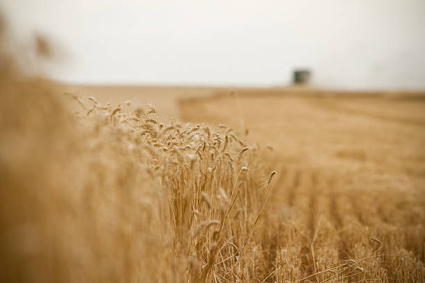 Harvesting combine in the field stock photo