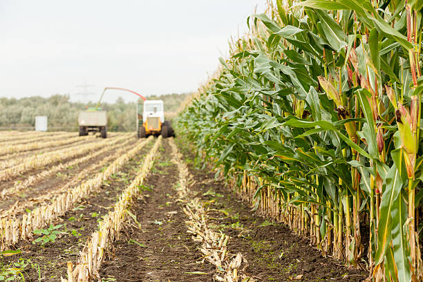Harvesting corn for silage​​​ foto