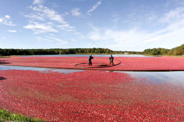 Harvesting cranberries on Cape Cod At a cranberry bog on cape cod, two men are standing in the middle of a sea of cranberries as they harvest the crop of tart crimson berries. cape cod stock pictures, royalty-free photos & images