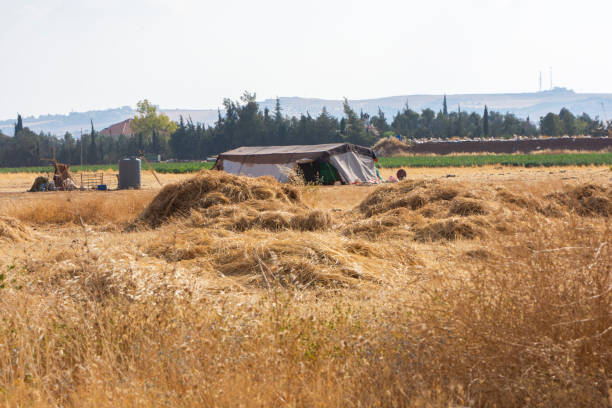 harvesting dried barely by bedouin stock photo