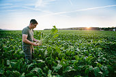 farmer, sugar beet, field, rural, harvesting, europe, Renewable resource