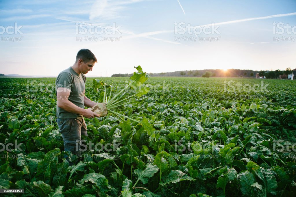 harvesting: farmer stands in his field, looks at sugar beets stock photo