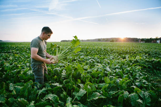harvesting: farmer stands in his field, looks at sugar beets farmer, sugar beet, field, rural, harvesting, europe, Renewable resource beet stock pictures, royalty-free photos & images