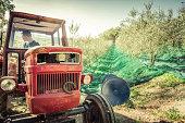 istock Harvesting fresh olives on green nets 1282534873