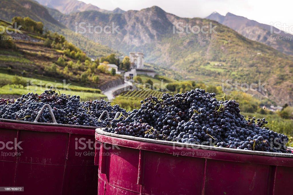 Harvesting Grape in Vineyard royalty-free stock photo