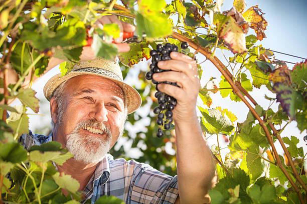 Harvesting Grapes in the Vineyard stock photo