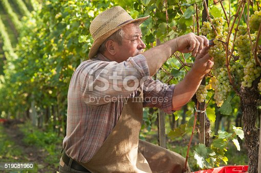 540524550 istock photo Harvesting Grapes in the Vineyard 519081960