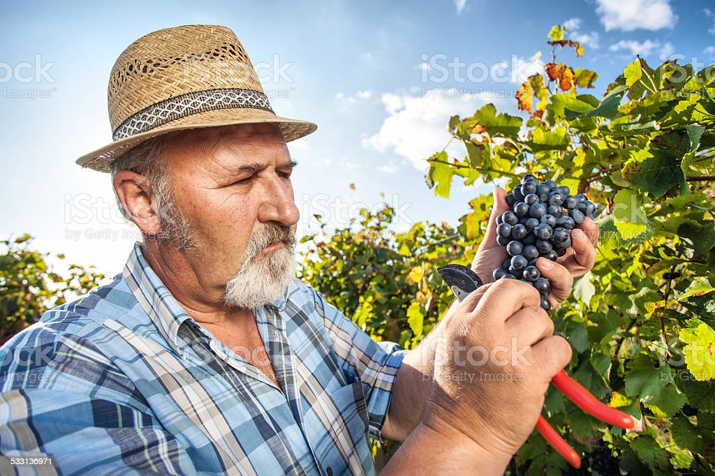 Harvesting Grapes in the Vineyard stock photo