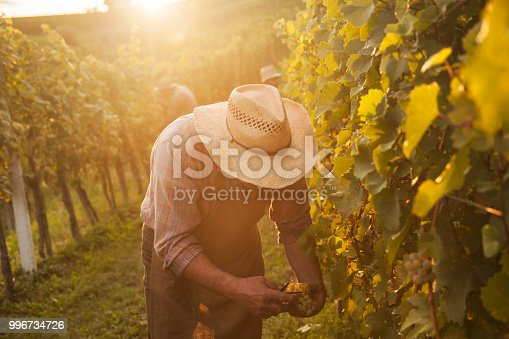 540524550 istock photo Harvesting grapes on an autumn evening 996734726