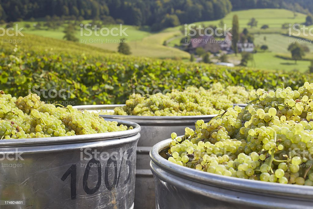 Harvesting grapes stock photo
