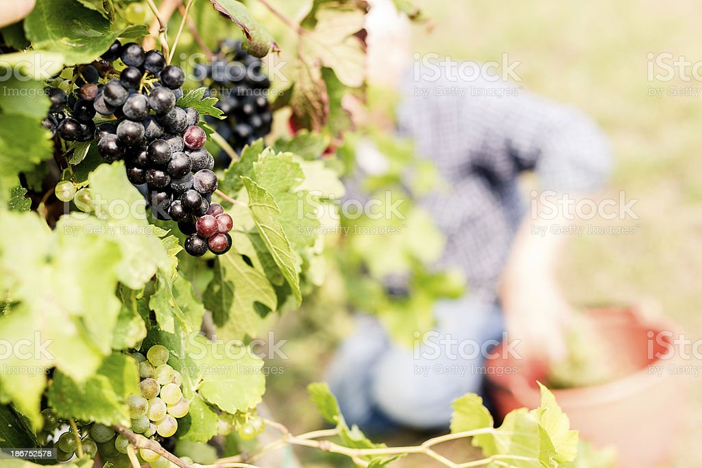 Harvesting Grapes royalty-free stock photo