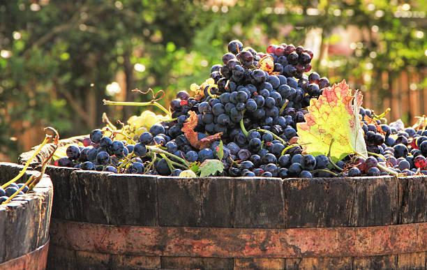 trauben ernten - traubensorten stock-fotos und bilder