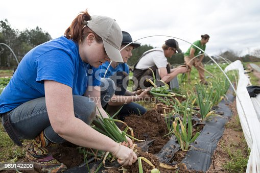Harvesting vegetables on an organic farm.  A group of farmers pick scallions outdoors.  There are two women and two men, all are caucasian.   They are focused on their work, no one looks to camera.