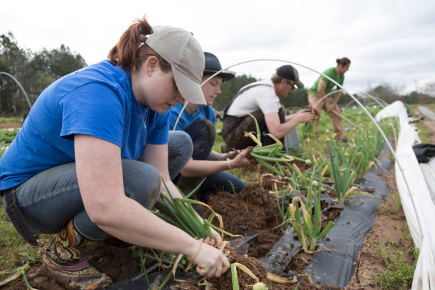 """Harvesting Green Onions Harvesting vegetables on an organic farm.  A group of farmers pick scallions outdoors.  There are two women and two men, all are caucasian.   They are focused on their work, no one looks to camera.  """"n agricultural cooperative stock pictures, royalty-free photos & images"""