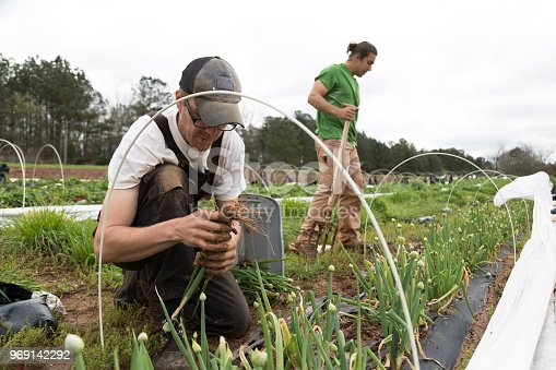 Harvesting vegetables on an organic farm.  A group of farmers pick scallions outdoors.  There are two men, both are caucasian.   They are focused on their work, no one looks to camera.  He is stacking the harvested onions into a plastic tub.