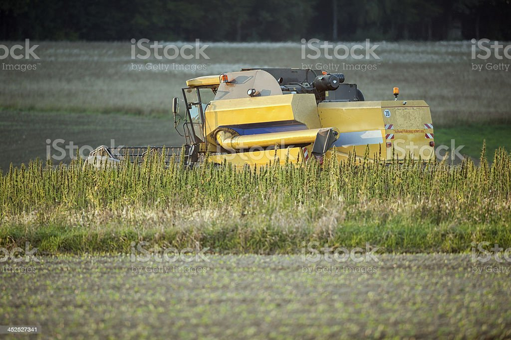 Harvesting Hemp stock photo