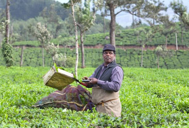 Harvesting in Kerala, South India stock photo