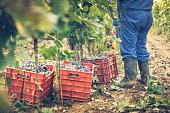 Harvesting in vineyard