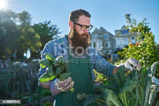 istock harvesting kale inside of urban communal garden 628650940