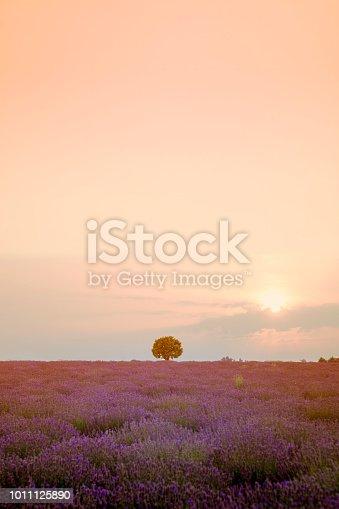 istock Harvesting lavender 1011125890