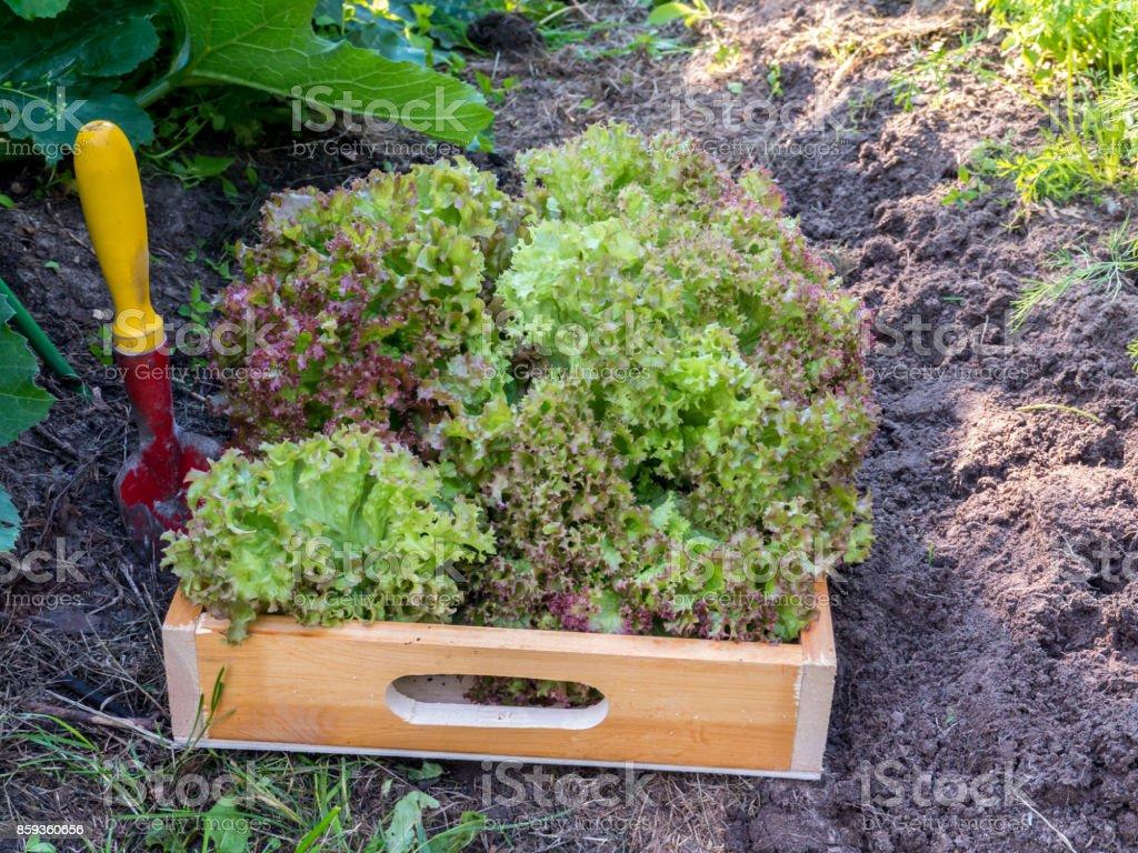 Harvesting Lollo rosso lettuce salad in the organic sunny vegetable garden stock photo
