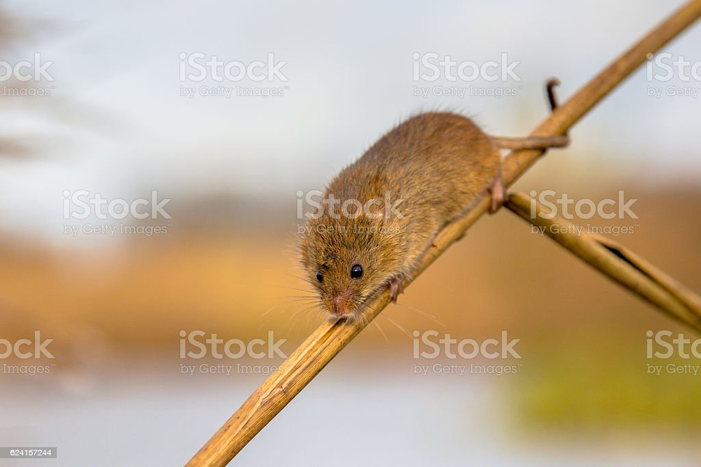 Harvesting mouse in reed stock photo