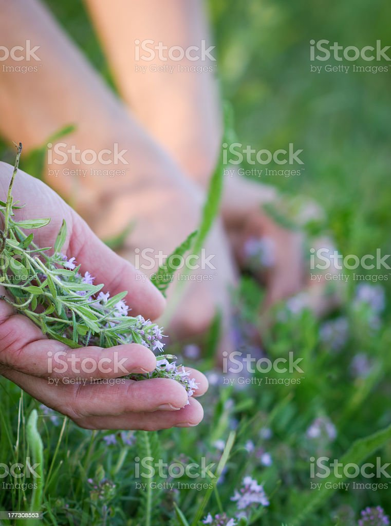 Harvesting of medicinal plants - herbs royalty-free stock photo
