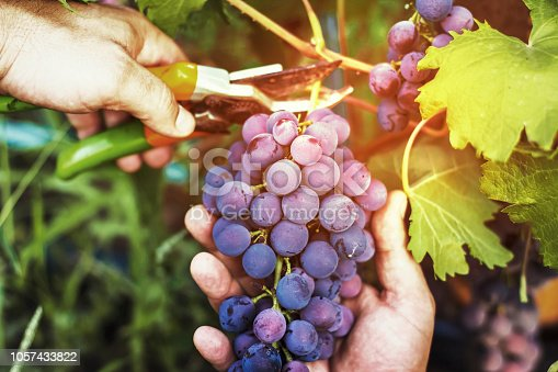 harvesting of ripe grapes, Red wine grapes on vine in vineyard, close-up. Farmers receive freshly harvested black grapes.