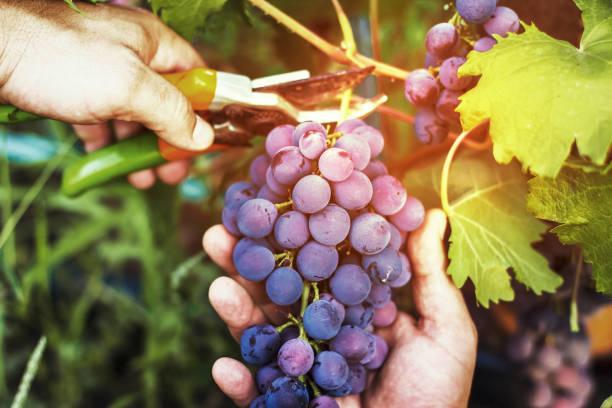 ernte der reifen trauben, rote weintrauben auf reben im weinberg, close-up. landwirte erhalten schwarze trauben. - grape sugar stock-fotos und bilder