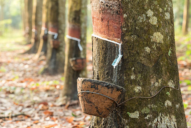 harvesting of rubber tree - 고무 뉴스 사진 이미지