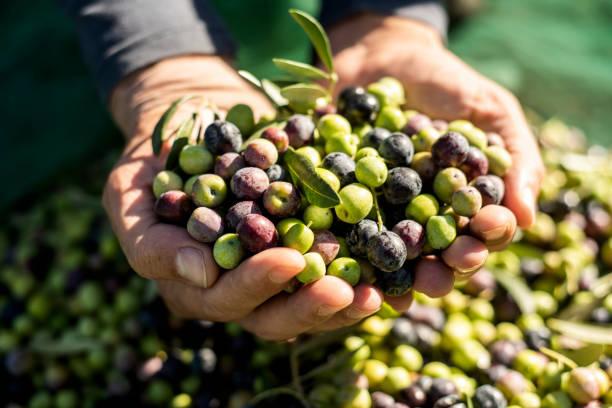 olivenernte in spanien - schwarze olive stock-fotos und bilder