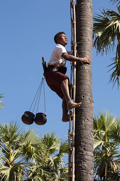 Harvesting palm fruit myanmar picture id626657592?b=1&k=6&m=626657592&s=612x612&w=0&h=7uqkzojhhfjhncuyeswiba9lnpqi6dwyzsqtuokvcs0=