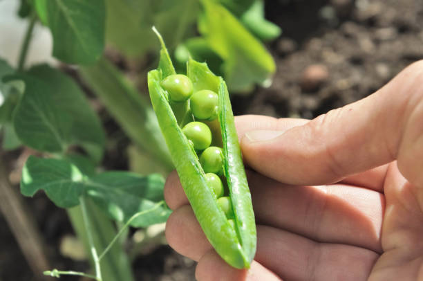 la cosecha guisantes por jardinero - foto de stock