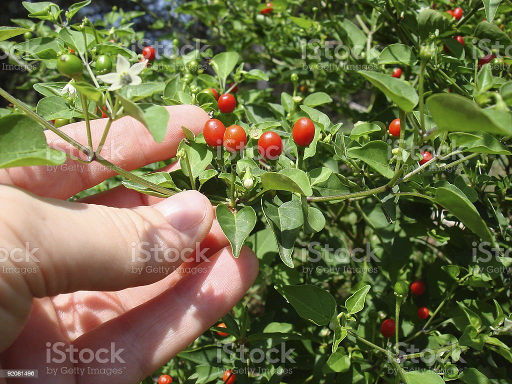 Harvesting Peppers stock photo