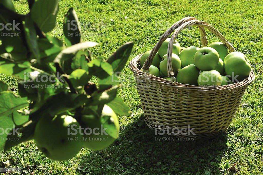 Harvesting. stock photo