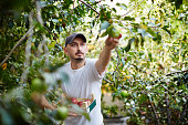 Farmer at apple orchard harvesting
