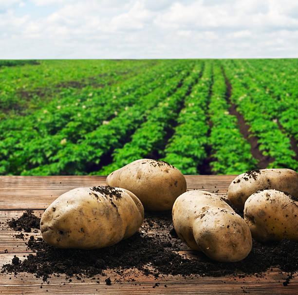 Ernten Kartoffeln auf dem Boden – Foto