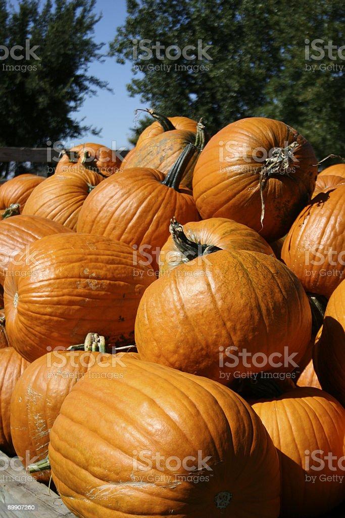 Harvesting Pumpkins royalty-free stock photo