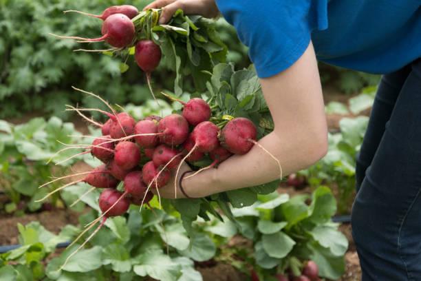 Harvesting Radishes stock photo