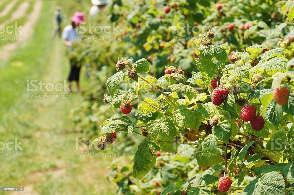 Harvesting Raspberry stock photo