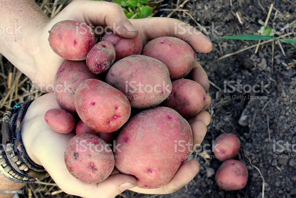Harvesting Red Gold Potatoes royalty-free stock photo