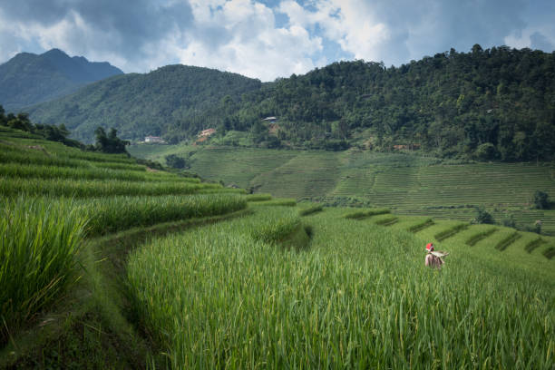 Harvesting rice in rice terraces on mountainside stock photo