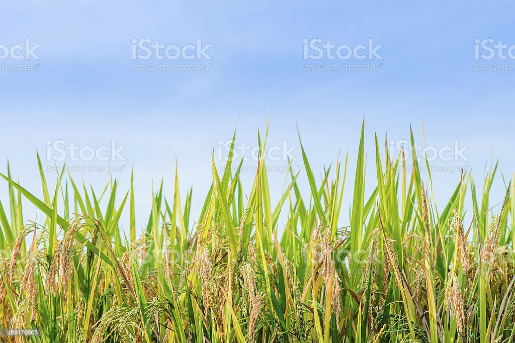 Harvesting Rice Paddy royalty-free stock photo
