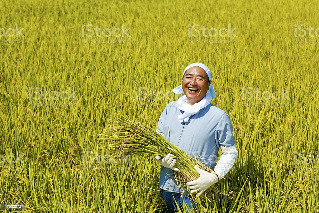harvesting rice stock photo