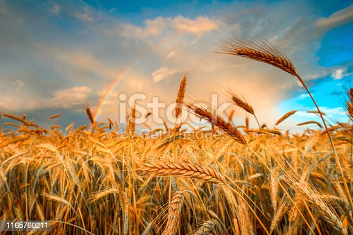 Harvesting. Ripe barley. Field of golden growth barley in the evening time. Rural agricultural background.