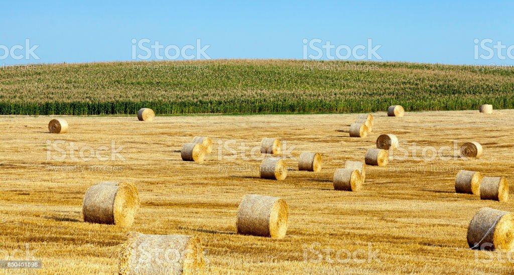 Harvesting ripe cereals stock photo
